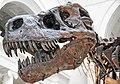 Tyrannosaurus rex (theropod dinosaur) (Hell Creek Formation, Upper Cretaceous; near Faith, South Dakota, USA) 15.jpg