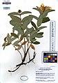 UC1755359 Hypericum calycinum (5544114291).jpg