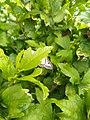 Unidentified-butterfly-20190609-175555.jpg