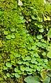 Utricularia striatula 08.JPG