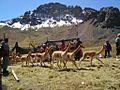 VICUÑAS EN CENTRO EXPERIMENTAL DE CAMELIDOS SUDAMERICANOS LACHOCC. - panoramio.jpg