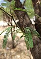 Vachellia farnesiana or Acacia farnesiana - leaves II.jpg