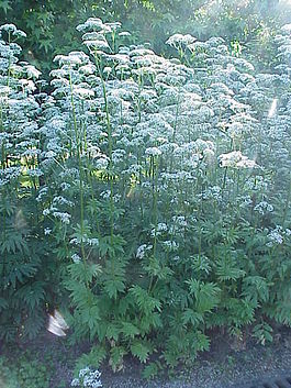 Valeriana officinalis2.jpg