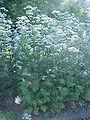 Valeriana officinalis2.jpg