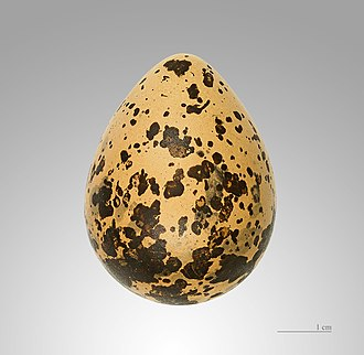 Northern lapwing - Egg – MHNT