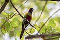 Venezuelan Parakeet - Perico Pintado ( Pyrrhura picta emma) (15838890567) (2).jpg