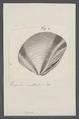 Venus spec. - - Print - Iconographia Zoologica - Special Collections University of Amsterdam - UBAINV0274 077 11 0014.tif