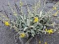 Verbascum syriacum 85340201.jpg