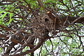 Verdin nest, showing entrance hole.JPG
