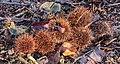 Vergankelijk biotoop onder beukenbomen. (d.j.b.) 01.jpg