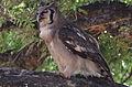 Verreaux's eagle-owl, or giant eagle owl, Bubo lacteus eating a snake at Pafuri, Kruger National Park, South Africa (20497278758).jpg