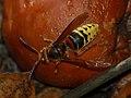 Vespa crabro 0003.jpg