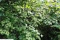 Viburnum carlesii 3zz.jpg