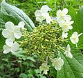 Viburnum opulus flower, Guelder-rose with sterile flowers.jpg