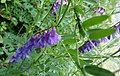 Vicia cracca, Tufted Vetch, Stewarton, Hedge, East Ayrshire, Scotland.jpg