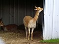 Vicuna at Edinburgh Zoo - geograph.org.uk - 488078.jpg