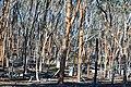 View through the trees, Dryandra Woodland, Western Australia.jpg