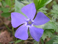 Vinca minor beentree.jpg