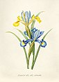 Vintage Flower illustration by Pierre-Joseph Redouté, digitally enhanced by rawpixel 61.jpg