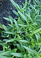 Viola palmata kz01.jpg
