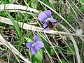 Viola sororia FWS-2.JPG