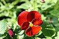 Viola x wittrockiana Delta Pure Red 3zz.jpg