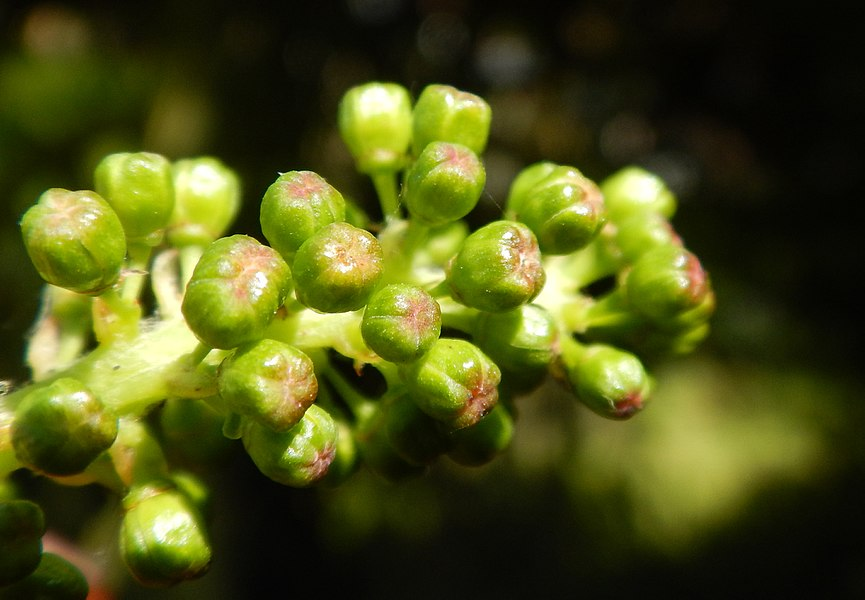 Vitis-vinifera-flowers (2015-06-13), in Lille (north of France)