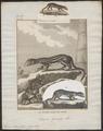 Viverra indica - 1700-1880 - Print - Iconographia Zoologica - Special Collections University of Amsterdam - UBA01 IZ22400031.tif