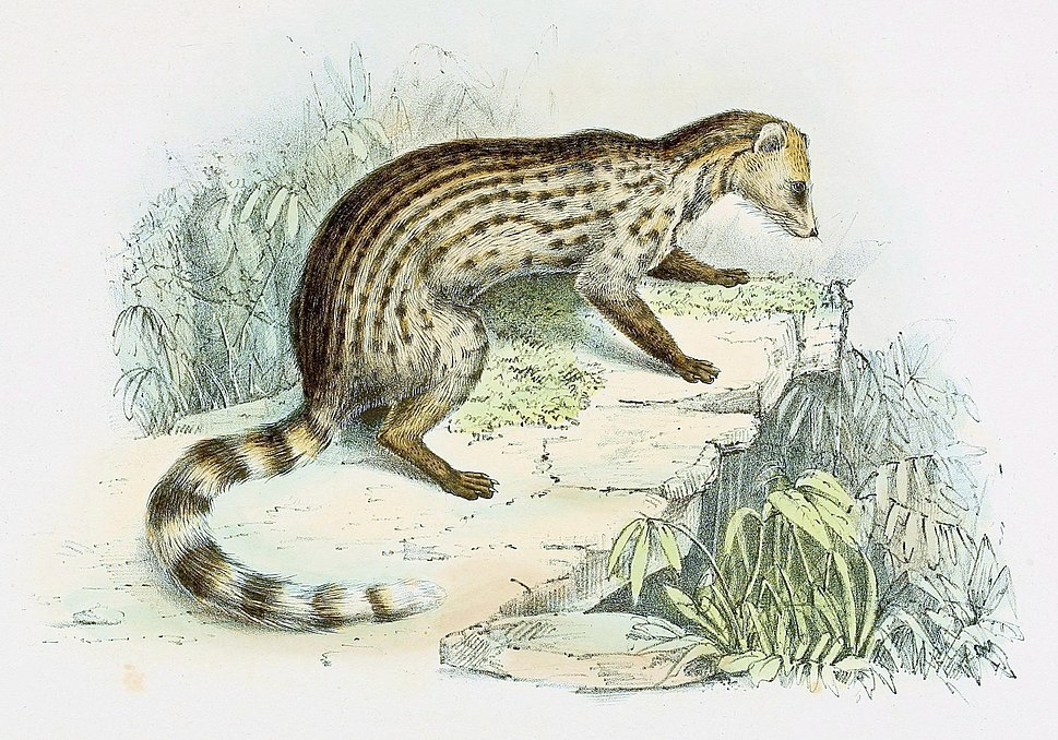 Viverricula indica schlegelii 1868