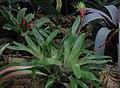 Vriesea carinata - JBM.jpg