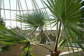 Washingtonia robusta 11zz.jpg