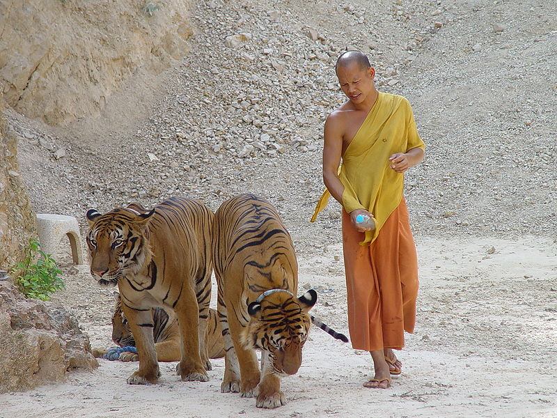 "Seorang bhikkhu dan harimau di kompleks ""Vihara Harimau"" Luang Ta Maha Bua."