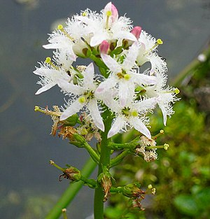 (Menyanthes trifoliata)