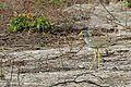 Wattled Plover, Gambia (12432074715).jpg