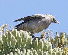 Wattled Starling (Creatophora cinerea) 2.jpg