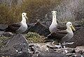 Waved Albatross (Phoebastria irrorata) -3 on Espanola.jpg