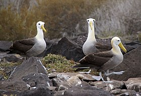 Waved Albatross (Phoebastria irrorata) -3 on Espanola.jpg