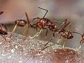Weaver Ant (Oecophylla smaragdina) (15288489178).jpg