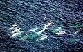 Weißwal 8-1999.jpg