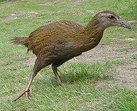 Weka (bird)