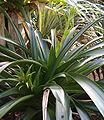 Werauhia tarmaensis HabitusYoungInflorescences BotGardBln1006.jpg