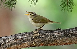 Western Crowned Warbler (Phylloscopus occipitalis) (32752144768) (cropped).jpg