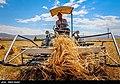 Wheat fields in Iran 96 7.jpg