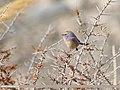 White-browed Tit Warbler (Leptopoecile sophiae) (48332294926).jpg