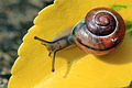 White-lipped snail (Cepaea hortensis) on leaf.jpg