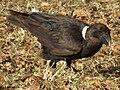 White-necked Raven Corvus albicollis Tanzania 3941 cropped Nevit.jpg