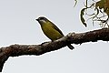 White-throated Gerygone.jpg