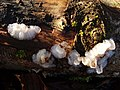 White Brain fungus (Exidia thuretiana) - geograph.org.uk - 933073.jpg