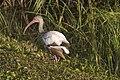 White Ibis - Immature, NPSPhoto, R. Cammauf (9101547038).jpg