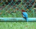 White Throated Kingfisher In Penang.jpg
